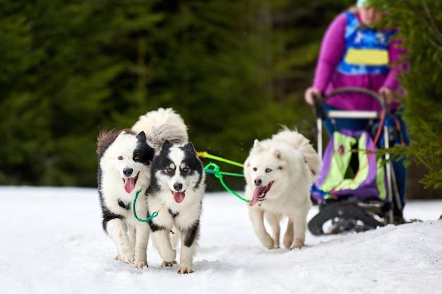 Faire courir des chiens sur des courses de chiens de traîneau sur une route de cross