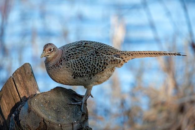 Faisan femelle debout sur une souche d'arbre