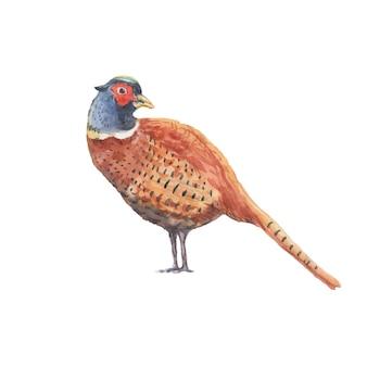 Faisan perdrix oiseau plumes aquarelle illustration dessinée à la main