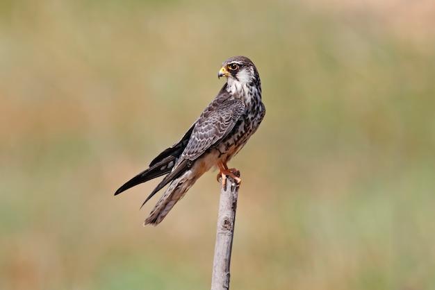 Falcon de l'amour falco amurensis beaux oiseaux de thaïlande