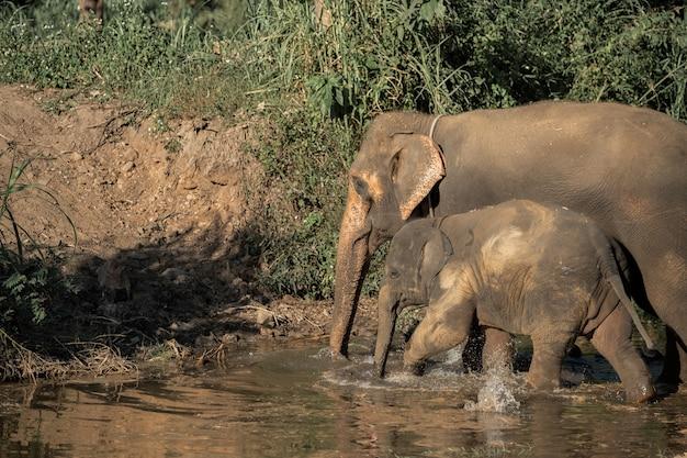 Famille d'amour d'éléphant thaïlandais