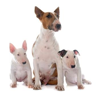 Famille bull terrier