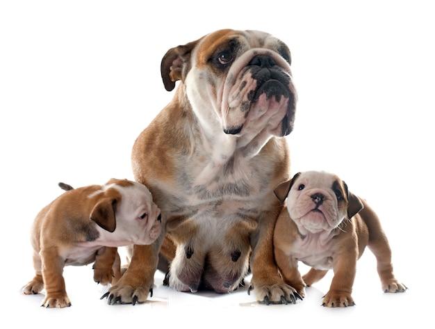 Famille bulldog anglais