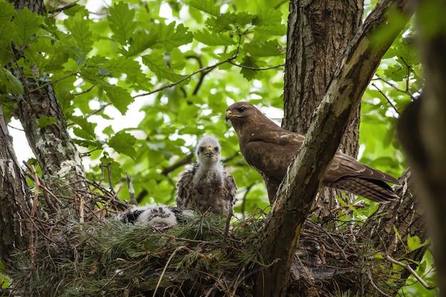Famille de buse variable avec adulte et petits poussins assis sur un nid dans la cime des arbres
