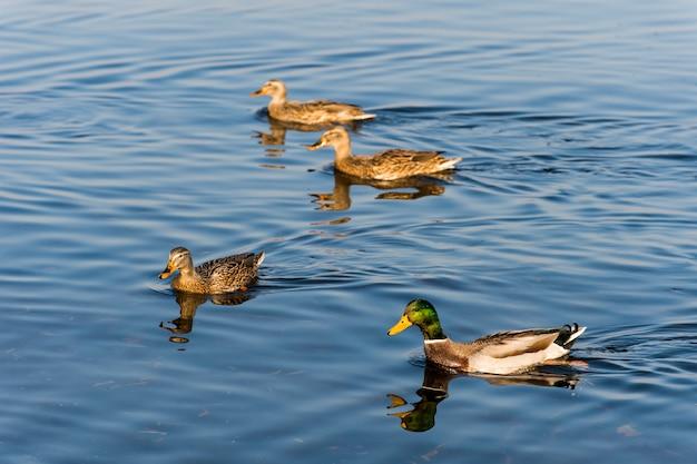 Famille de canards sauvages dans l'eau