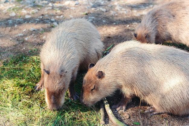 Famille de capybara dans le parc national. animal capybara dans le zoo. jeunes capybaras jouant. balade familiale capybara. gros plan de capybaras.