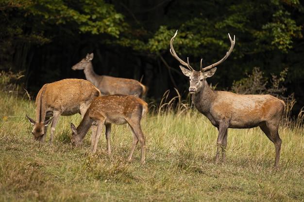 Famille de cerfs rouges paissant sur les pâturages en automne nature