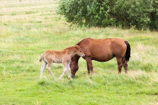 Famille d'un cheval adulte et d'un petit poulain tout en paissant dans une clairière avec de l'herbe verte, l'été
