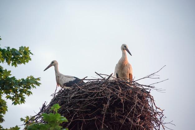 Une famille de cigognes dans leur nid, assis haut sur un poteau près de l'érable.