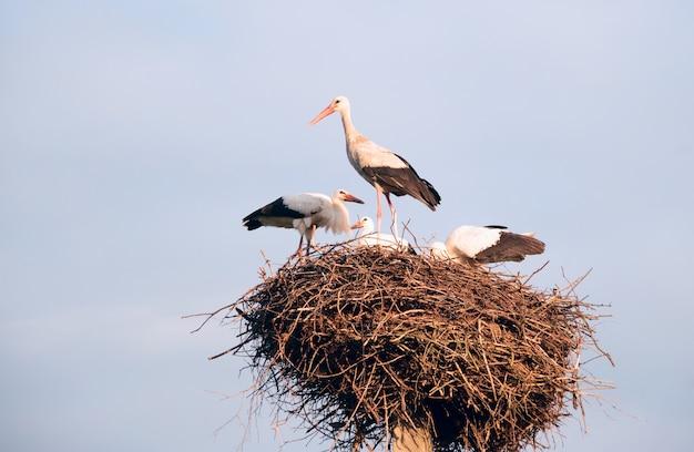 Une famille de cigognes dans leur nid, assis haut sur un poteau.