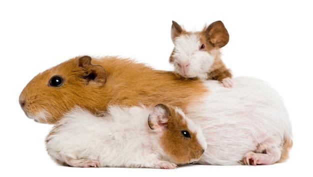 Famille de cochon d'inde devant fond blanc