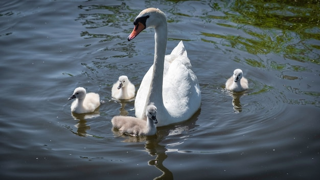 Une famille de cygnes dans l'étang à amsterdam, aux pays-bas