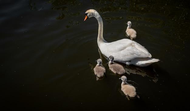 Famille de cygnes dans l'étang