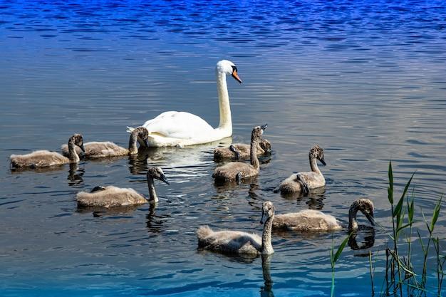 Famille de cygnes sauvages sur le lac. oiseau fier et fort. la faune naturelle.