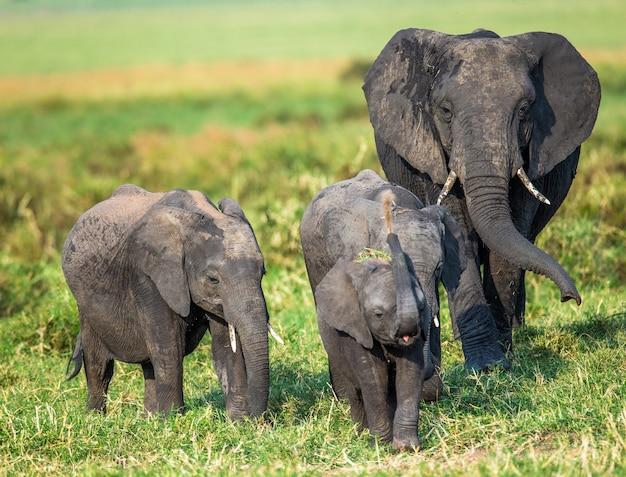 Famille d'éléphants dans la savane.