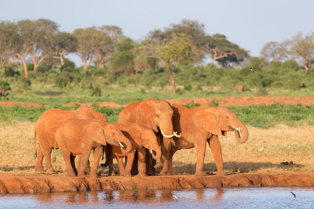 La famille des éléphants rouges à un trou d'eau au milieu de la savane