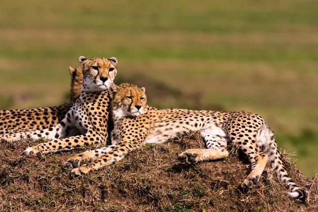 La famille des guépards regarde. collines du serengeti, afrique