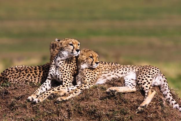 La famille des guépards regarde. masai mara, kenya