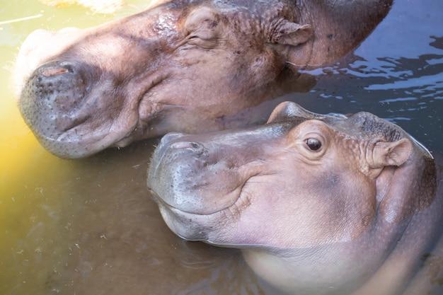 Famille hippopotame se détendre.