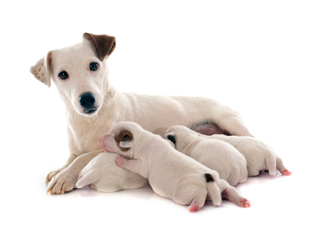 Famille jack russel terrier