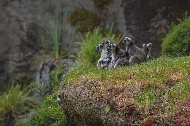 Famille des lémuriens