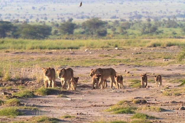 Famille de lions dans la savane au kenya