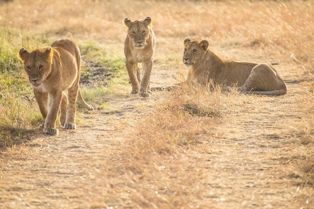 Une famille de lions et le grand père lion dans le parc national du masai mara, des animaux sauvages dans la savane. kenya, afrique