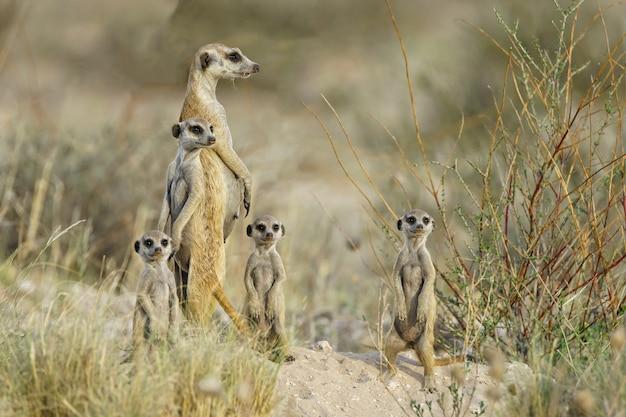Famille meercat à l'affût
