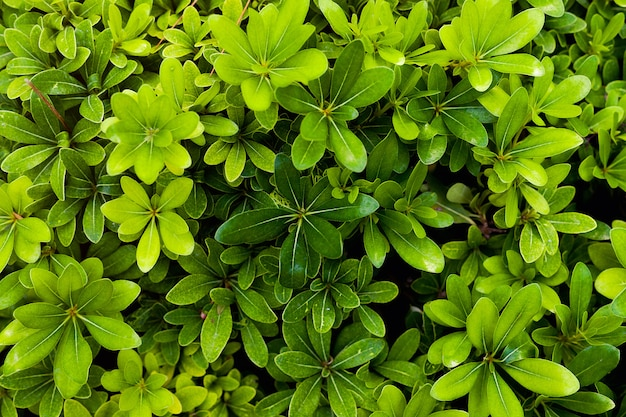 Famille melastome, belle plante erythroxylaceae avec des feuilles vertes juteuses