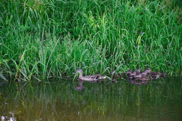 Famille d'oiseaux de canards nage sur l'eau de la rivière en été