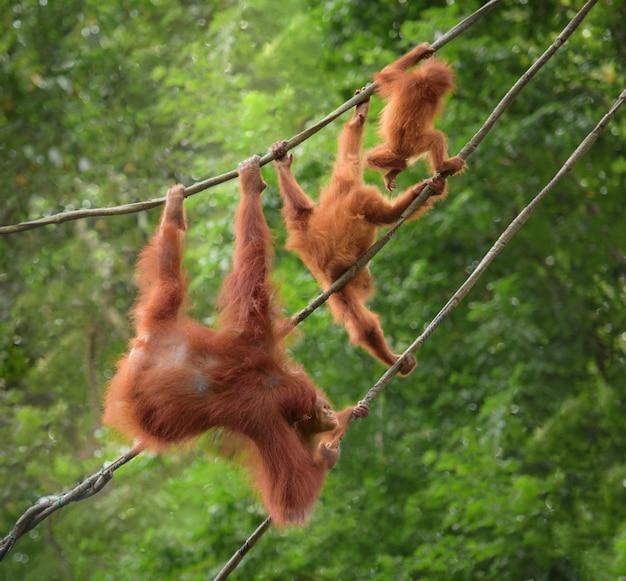 Famille d'orangutang marchant sur une corde dans des poses drôles