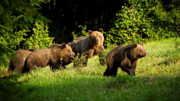 Famille d'ours brun avec de jeunes oursons approchant au printemps