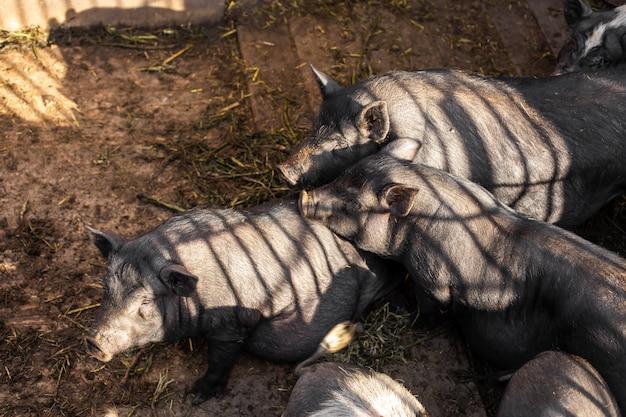 Famille de porcs en porcherie