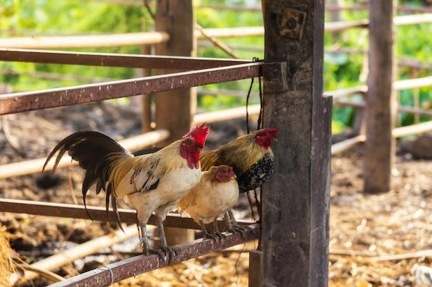 Famille de poulet à l'écurie