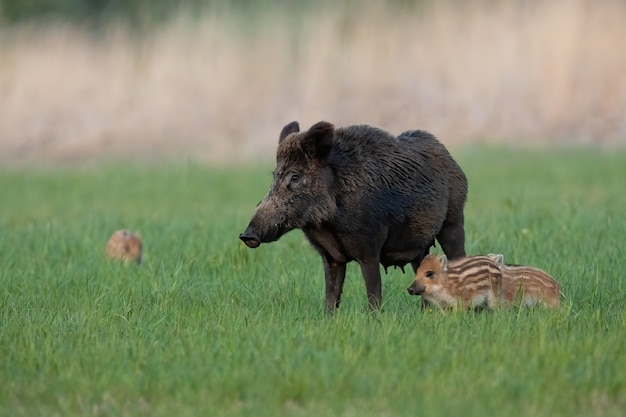 Famille de sanglier debout sur le pré au printemps