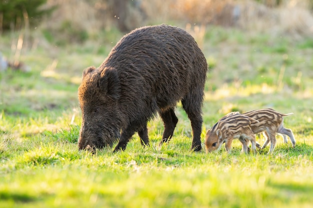 Famille de sanglier, sus scrofa, paissant sur clairière au printemps.
