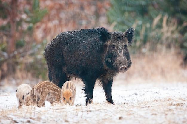 Famille de sangliers debout sur une prairie enneigée en hiver