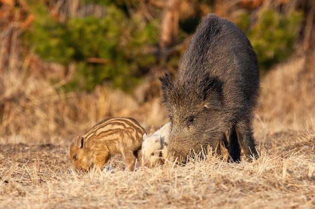 Famille de sangliers se nourrissant de prairie au printemps nature