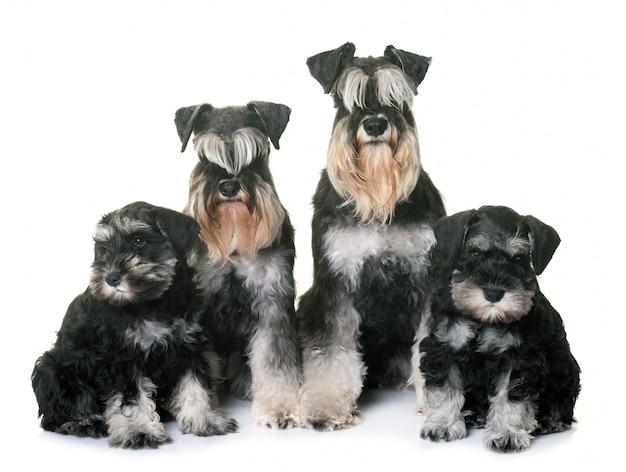 Famille schnauzer miniature