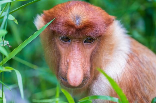 Famille de singe sauvage proboscis ou nasalis larvatus ou singe hollandais, dans la forêt tropicale de l'île de bornéo, en malaisie, en gros plan. singe étonnant avec un nez pendant massif