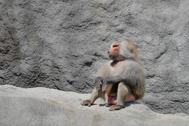 Famille de singes au zoo