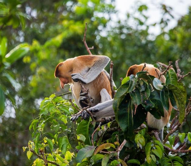 Une famille de singes proboscis est assise dans un arbre dans la jungle. indonésie. l'île de bornéo.kalimantan.