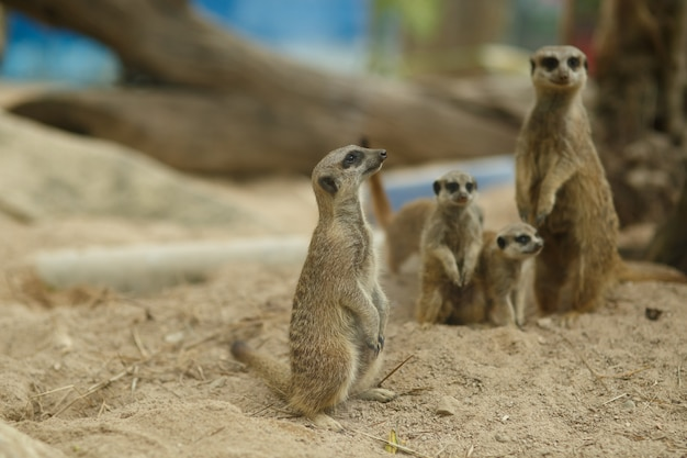 Famille suricate attentionnée se penche sur la distance