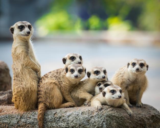 Famille de suricates