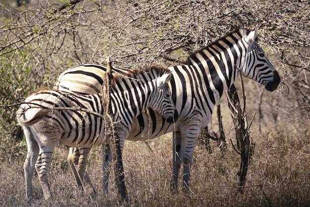 Famille zebra en afrique du sud
