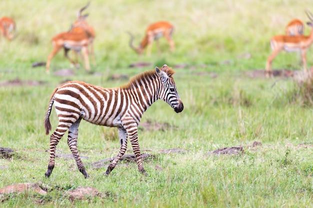 Une famille de zèbres broute dans la savane à proximité d'autres animaux