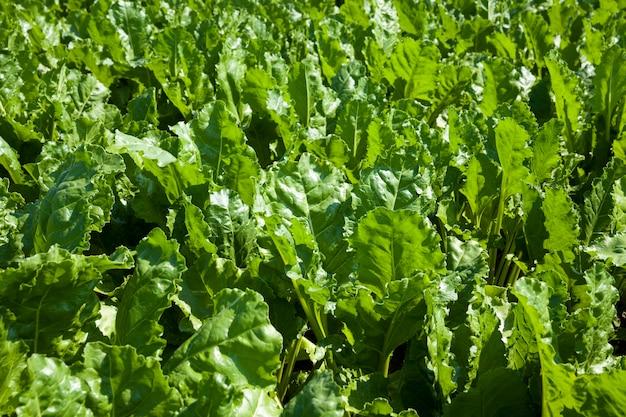 Les fanes de betteraves pour la production de sucre