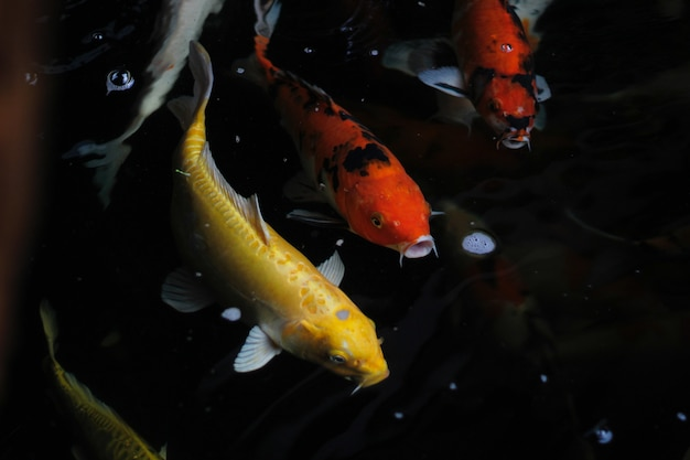 Fantaisie carpe nageant dans un étang. fancy carps fish or koi swim in pond, movement of swimming and space.