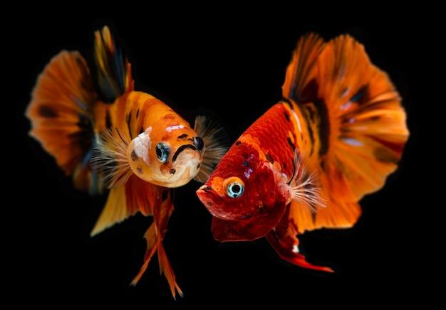Fantaisie nemo betta ou poisson de combat siamois.
