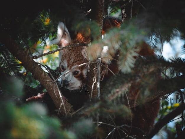 Fantastique portrtait d'un ravissant panda roux